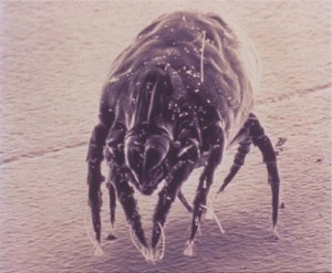 dust-mites_photo-300x247